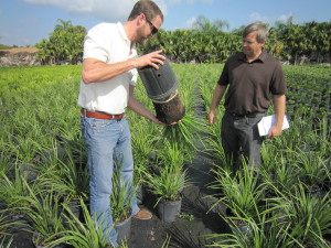 Sam McCoy and Todd Layt looking at Lomandra 'Katie Belles' at a nursery in south Florida… wet, wet, wet!  But doing great!