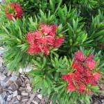 Callistemon 'Green John'